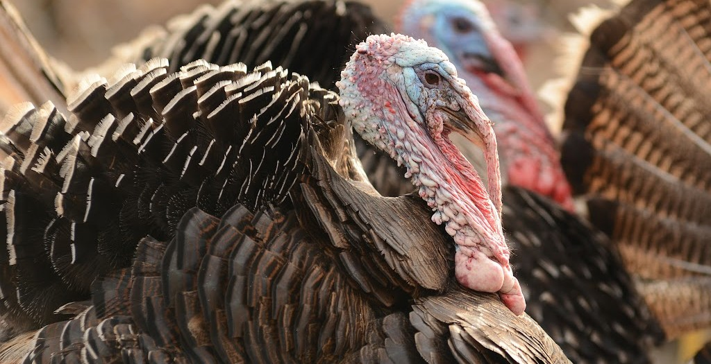 Chasing Turkeys